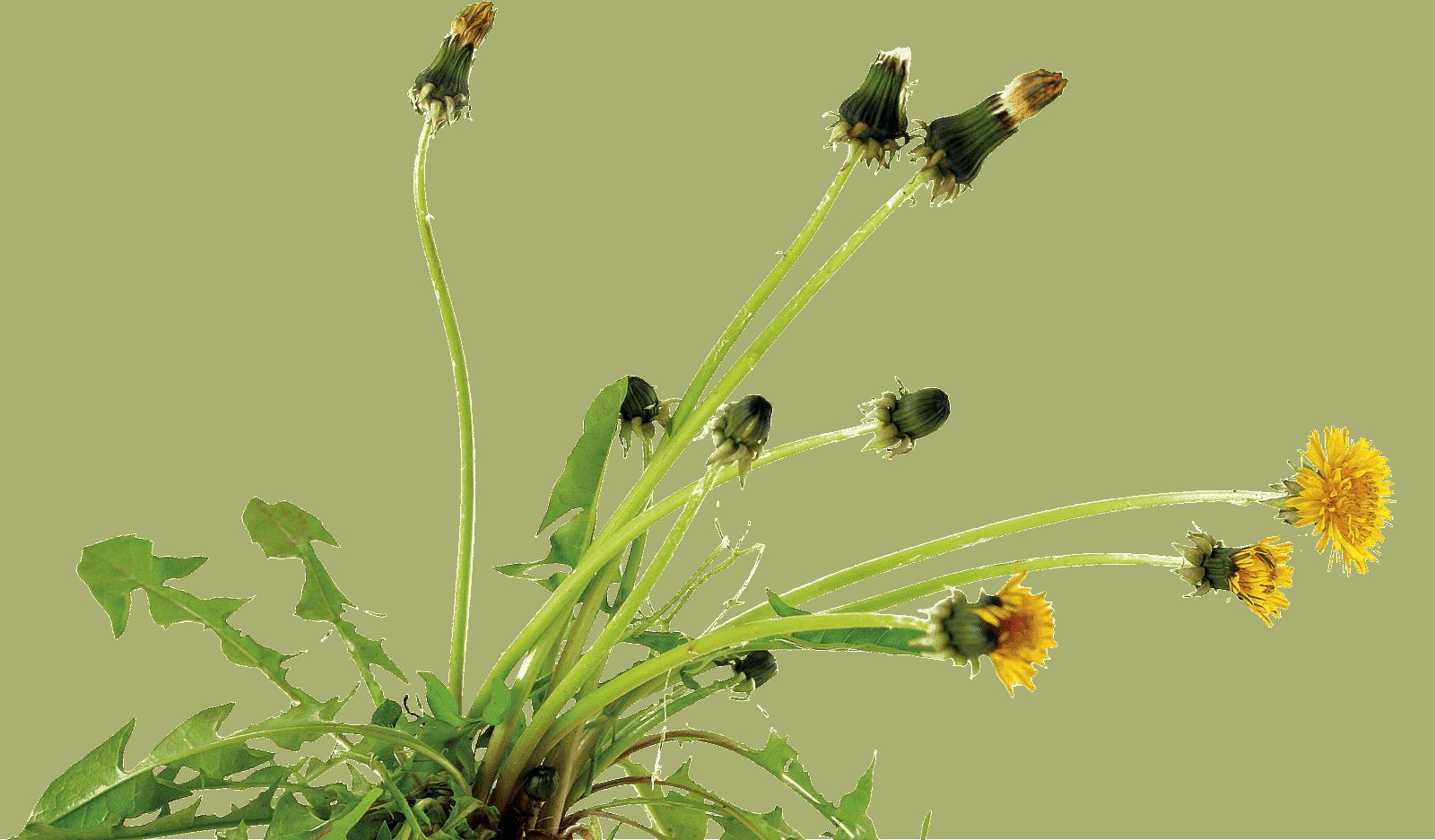 Dandelion-new-pic
